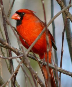 male bright red cardinal