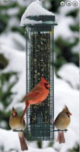 squirrel buster feeder from Duncraft with cardinals visiting it