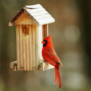 cardinal at wooden feeder