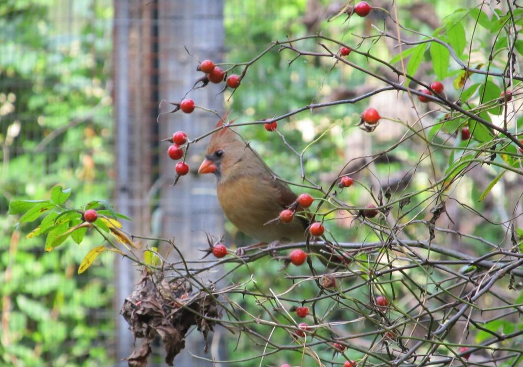 cardinal sitting in bush of red berries