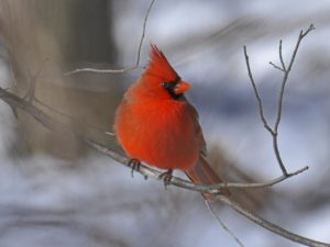 bright red cardinal on a branch