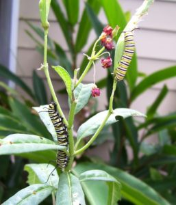 two caterpillars on a branch
