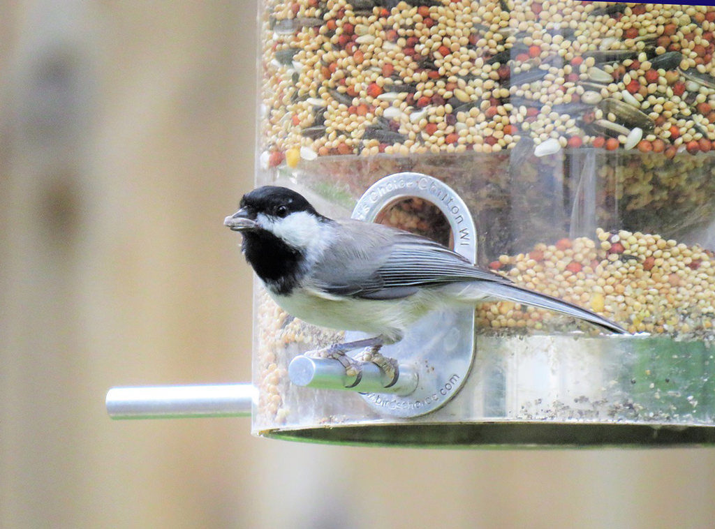 black and grey bird on the perch of a tube type feeder filled with birdseed