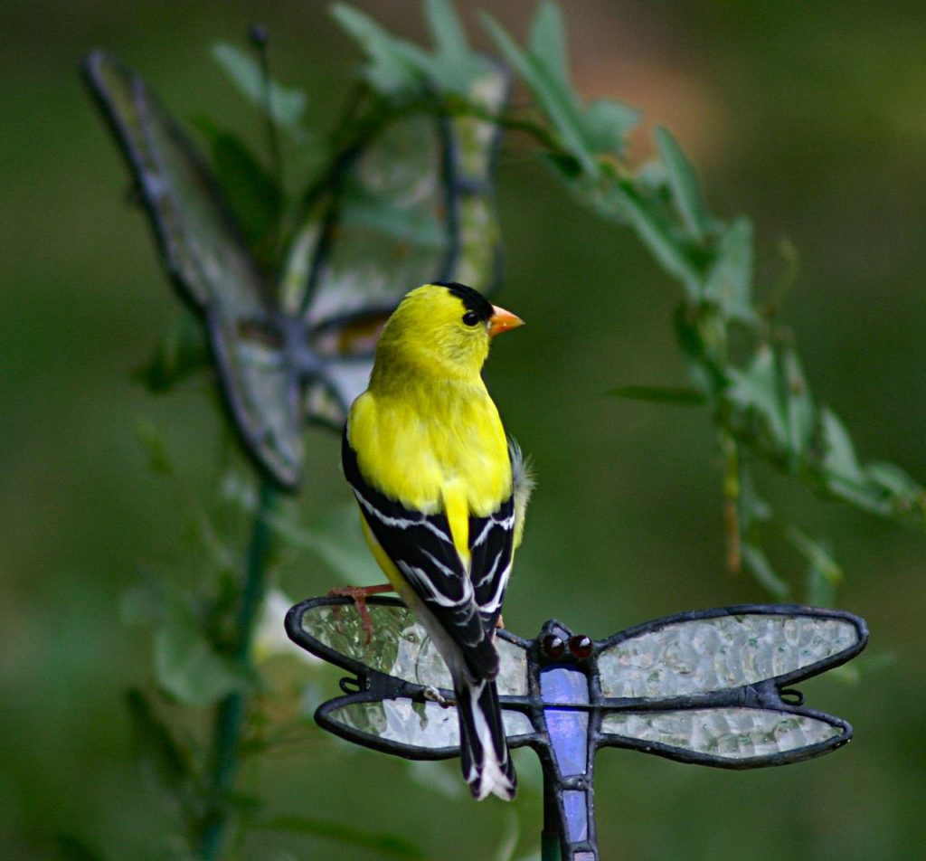 Pretty yellow finch