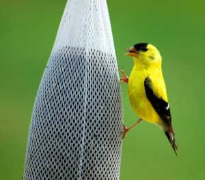 Finch eating from Sock feeder
