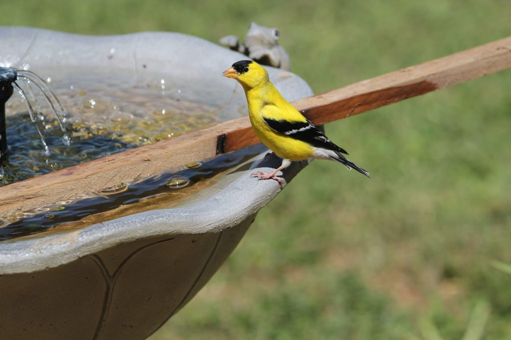 young finch sitting on the edge of a bird bath
