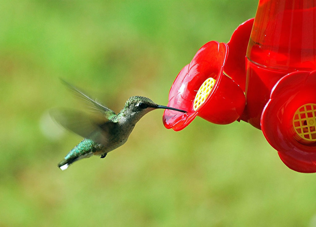 hummingbird taking a drink mid flight