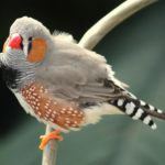 zebra finch perched on branch
