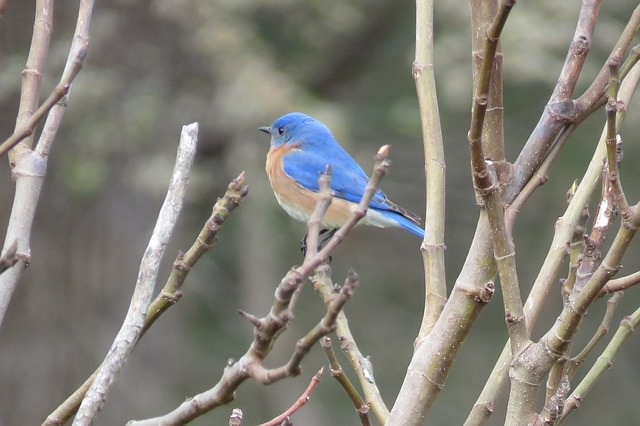 bluebird sitting in a tree