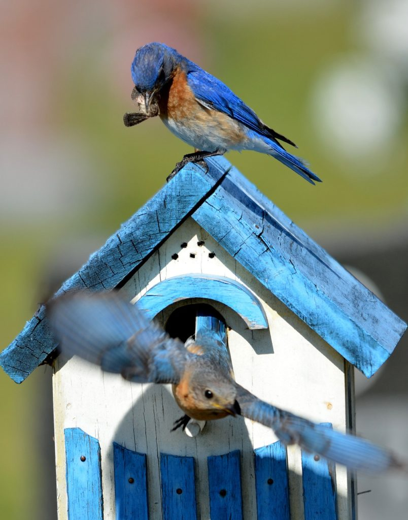 A blue and white bluebird house with two bluebirds - one perched on top and one flying out of the house