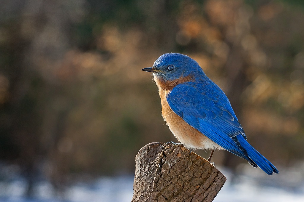 How To Attract Bluebirds to Your Yard with Plants, Food ...