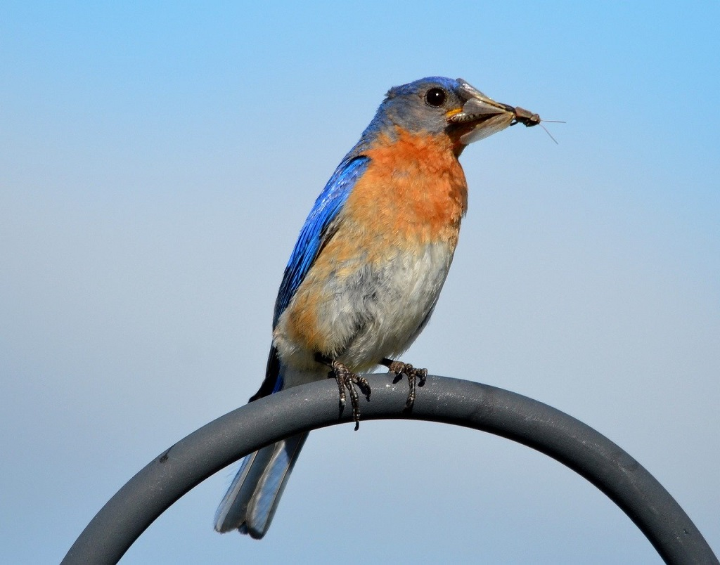 bluebird eating insect