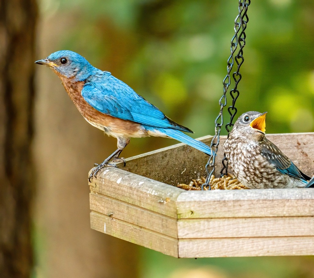 bluebird and baby on a mealworm feeder