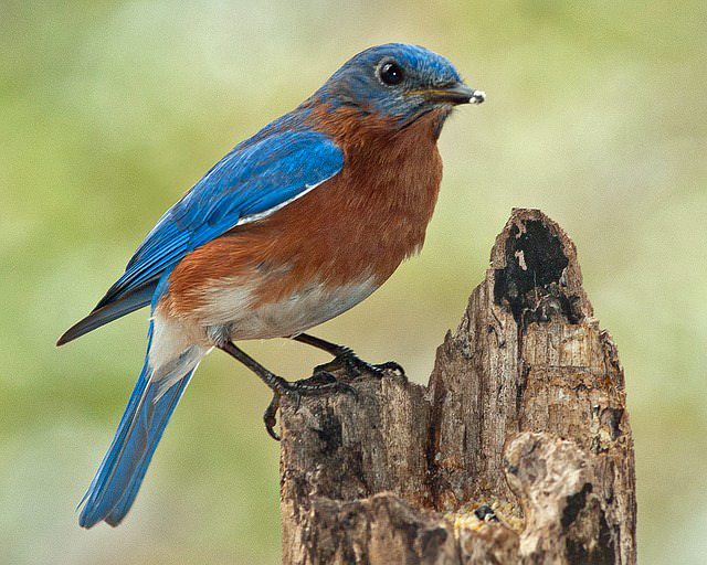 bluebird sitting on a tree stump