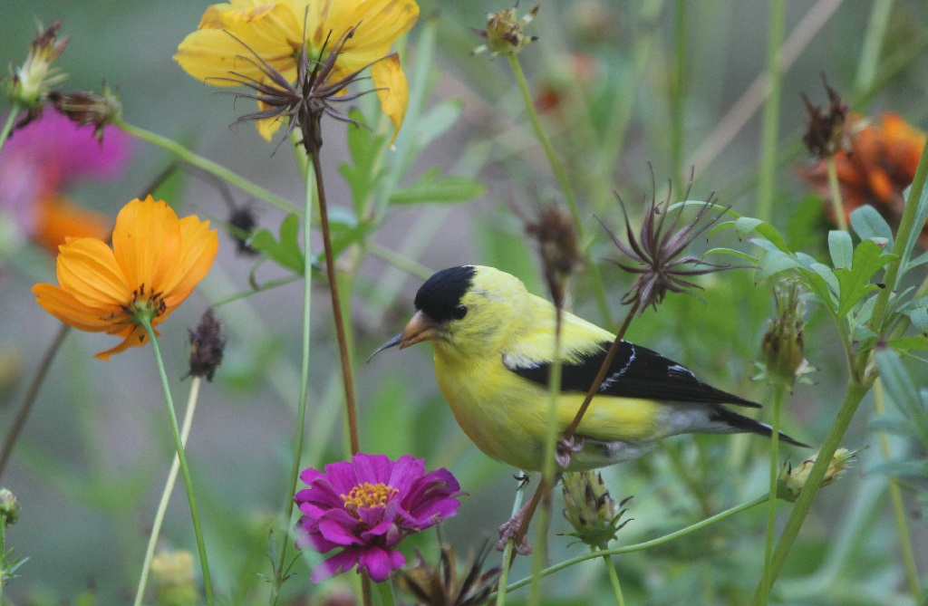 bright yellow finch sitting on cosmos stem eating zinnia flower seeds
