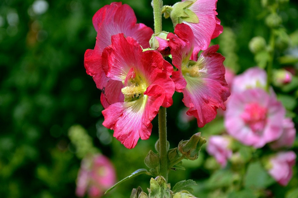 Bright red flowers of the Hollyhock