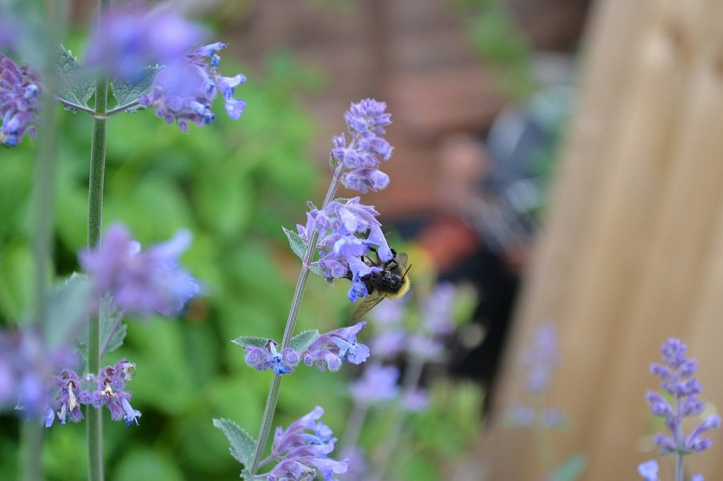 Bee on the light purple flowers from catmint
