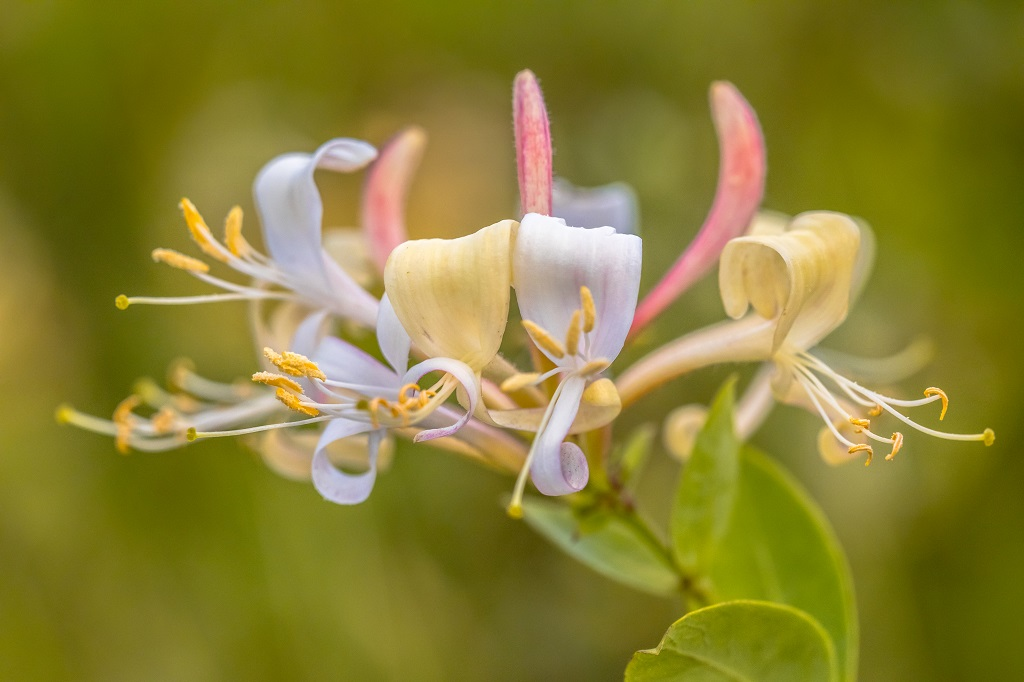 white and yellow tube shaped flowers of the honeysuckle