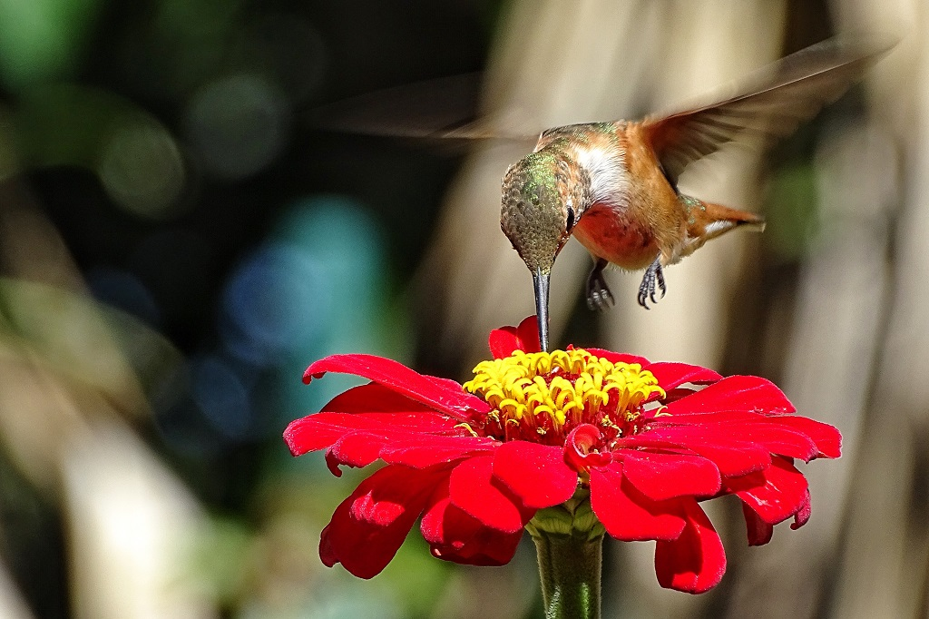 Zinnia are well-known flowers for attracting hummingbirds