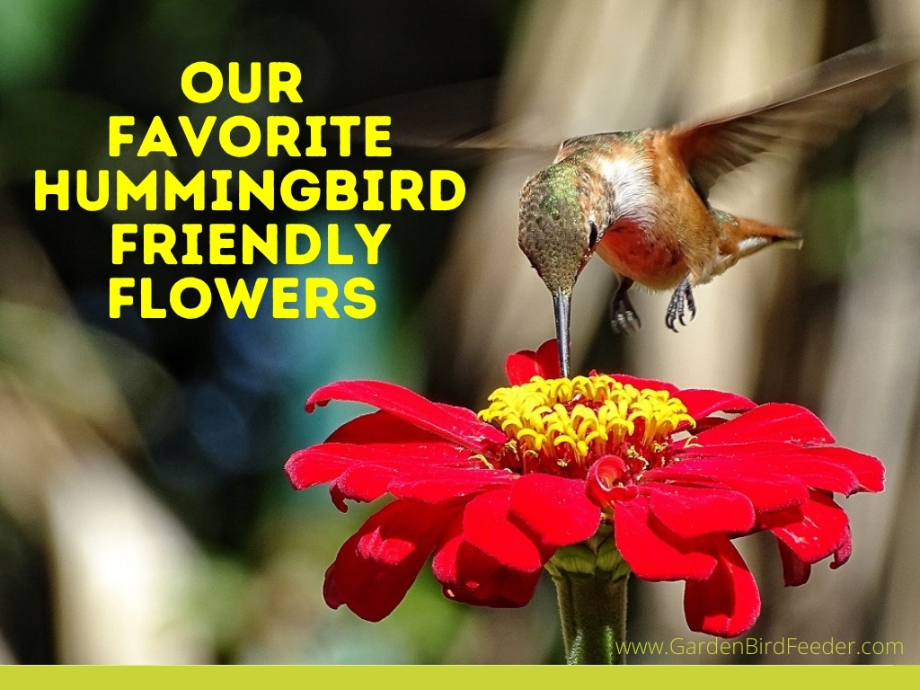 Our Favorite Hummingbird Friendly Flowers - A hummingbird feeding from a red and yellow zinnia