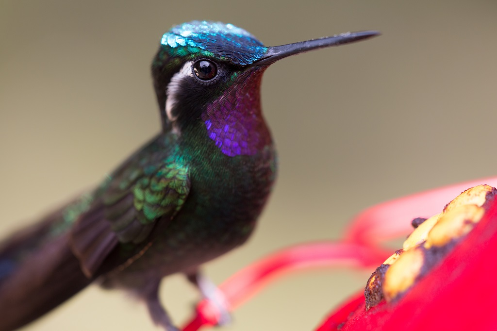 Brilliant shimmering green purple and turquoise hummingbird perched on a red feeder flower