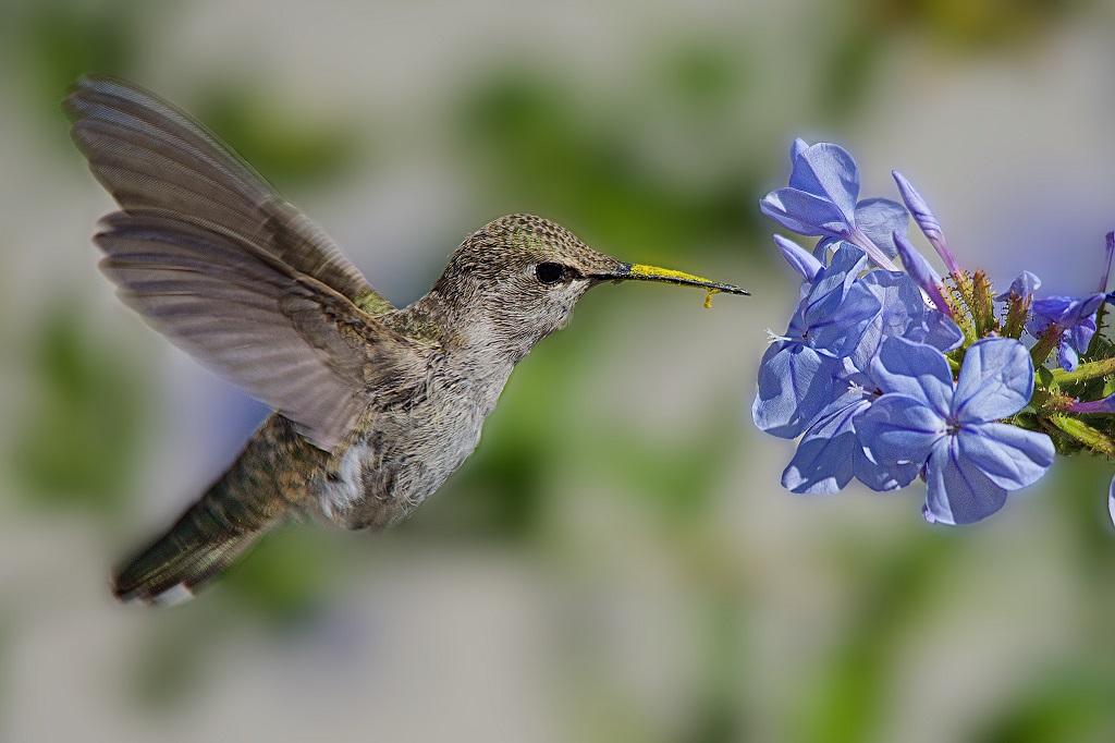 hummingbird next to blue flowers