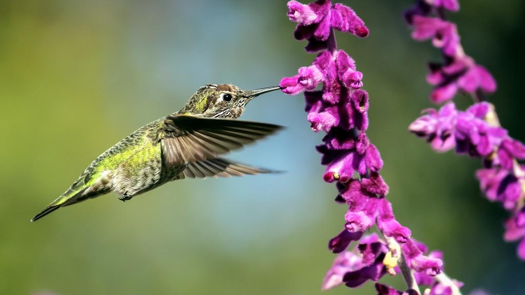 Green hummingbird feeding from bright purple flowers