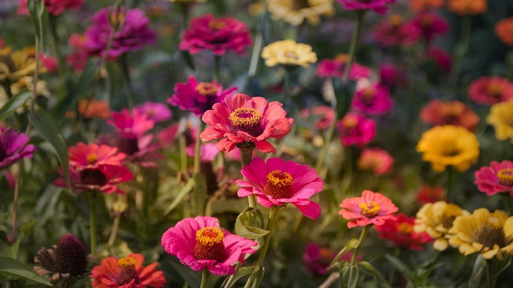 large group of red, orange, pink and yellow zinnias blooming.in the garden