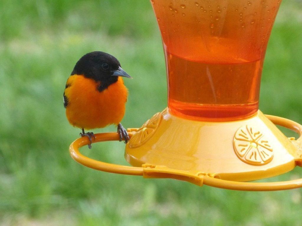 closeup of an oriole perched on a nectar bird feeder