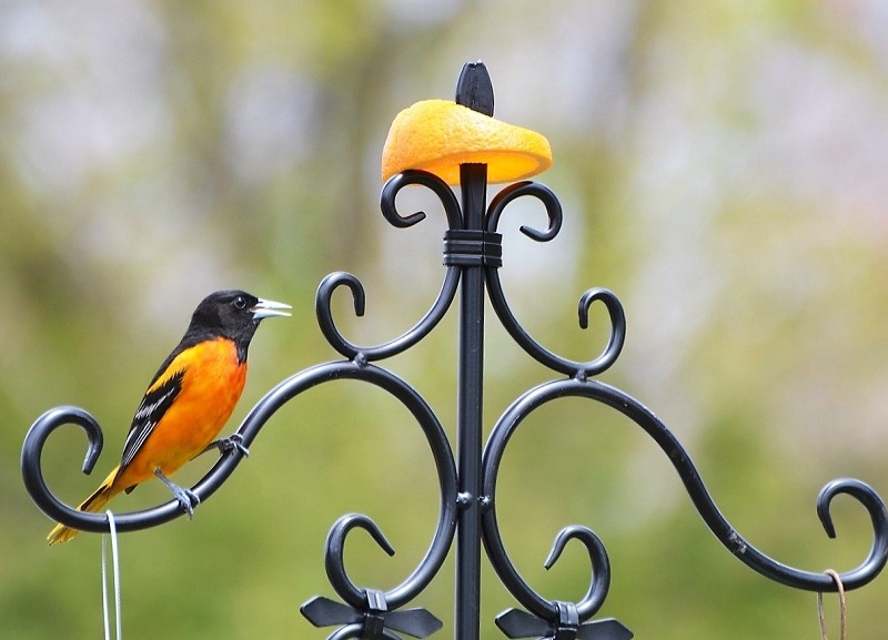 oriole bird perched on a wrought iron fence with a half an orange on top