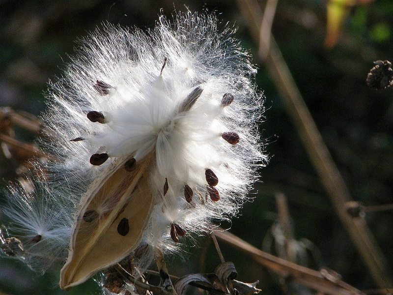 the fluffy fiber of the milkweed plant on a seed head