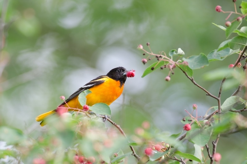 oriole eating red berries