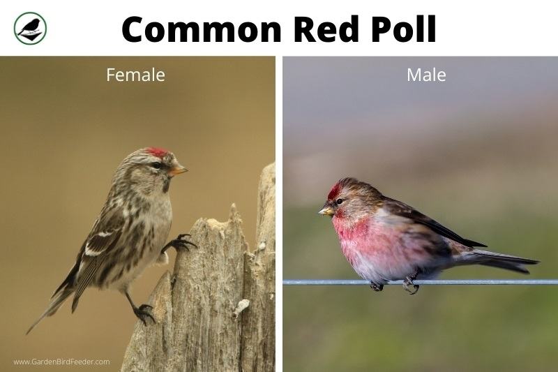 Comparison of the male and female red poll