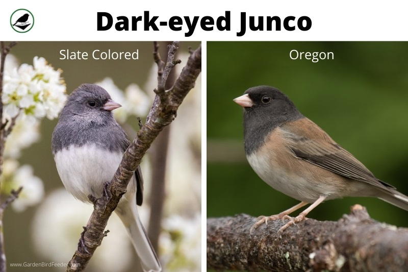 Comparison of the two black eyed juncos