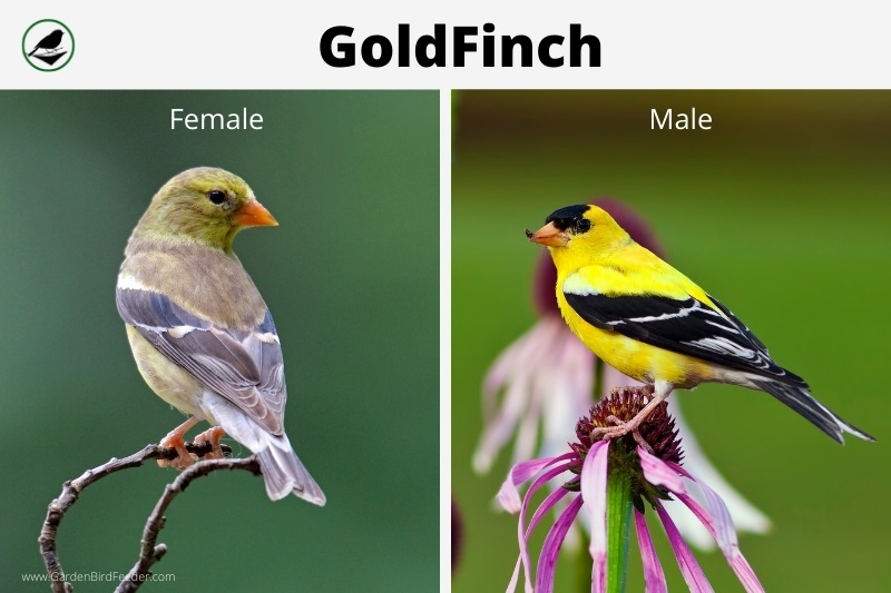 Comparison of the male and female gold finch
