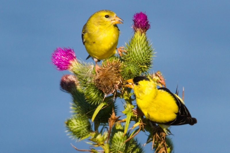goldfinches eating thistle seed from the bull thistle plant