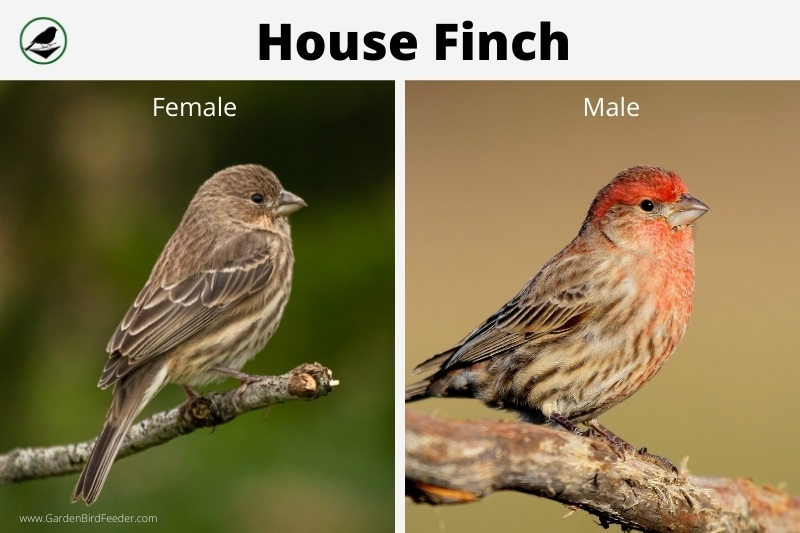 Comparison of the male and female house finch