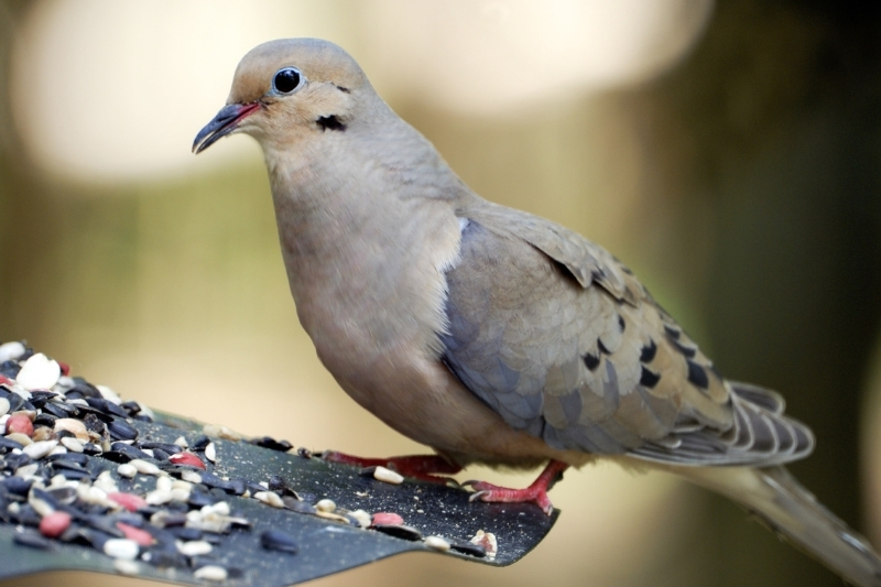 A mourning dove perched on the side of a tray feeder eating seed