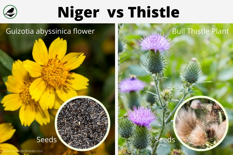 Niger vs thistle plants flowers and seeds - side by side comparison