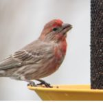 finch perched on the side of a bird feeder filler with nyjer bird seed