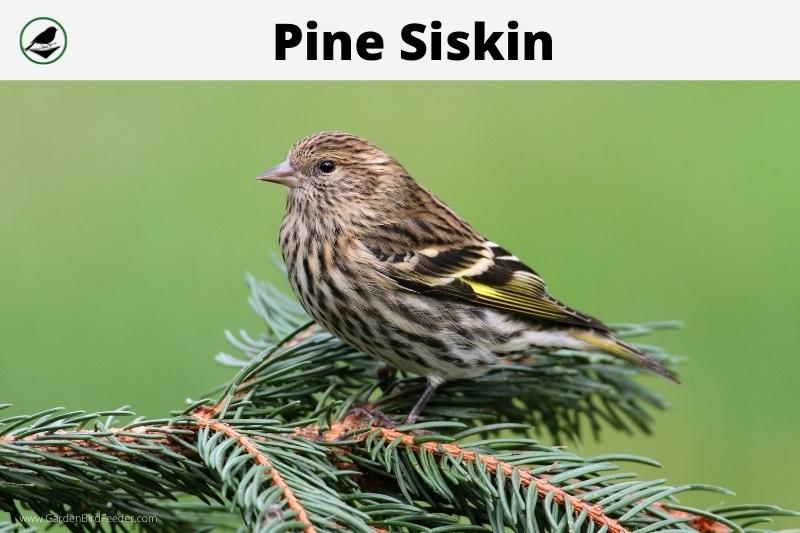 closeup of the pine siskin