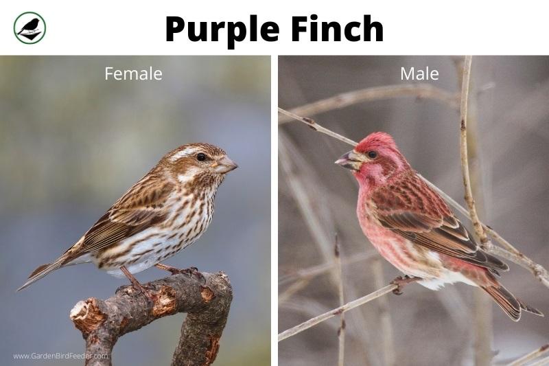 Comparison of the male and female purple finch