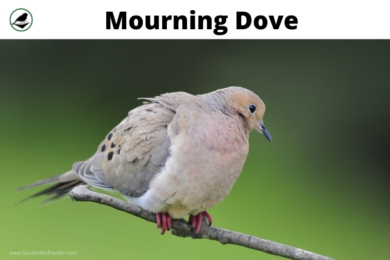 mourning dove perched on a branch